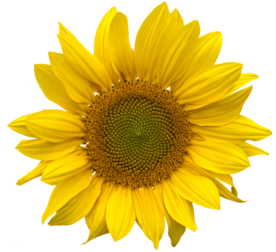 sunflower-flower-free-PNG-transparent-images-free-download-clipart-pics-sunflower_PNG13409
